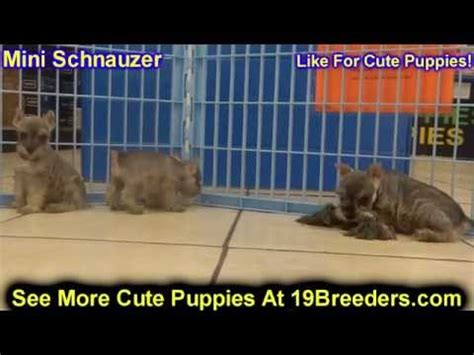 puppies for sale new orleans miniature schnauzer puppies for sale in baton louisiana la minden west