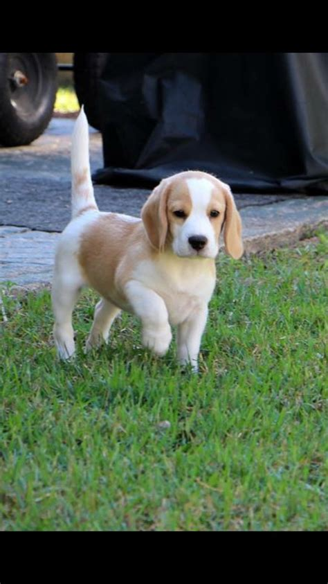 lemon beagle puppies 1000 ideas about lemon beagle on lemon beagle puppy and beagles