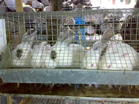 gabbie per conigli giganti consiglio su futuro allevamento di conigli