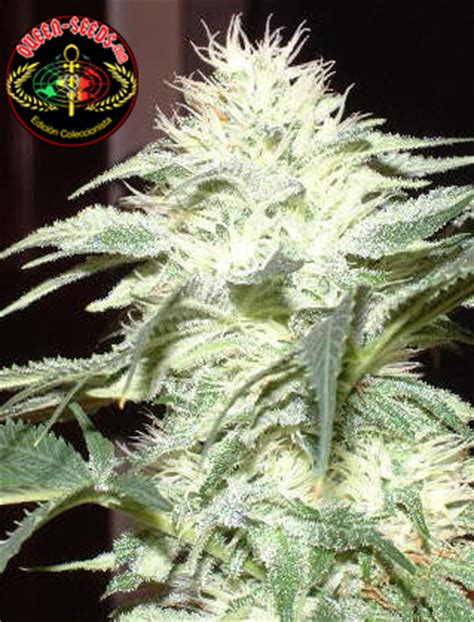 lade per cannabis white widow seeds seedfinder sorten info