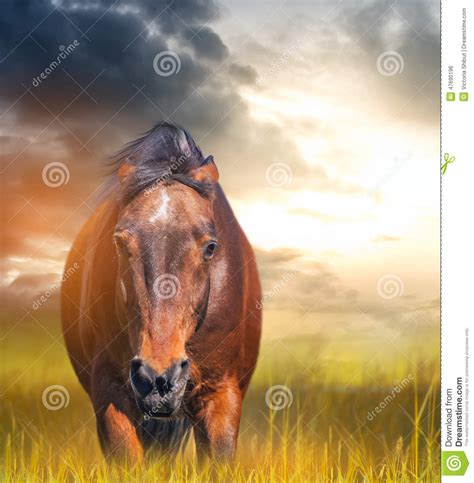 with ears back angry with ears laid back in a field stock photo image 47690196