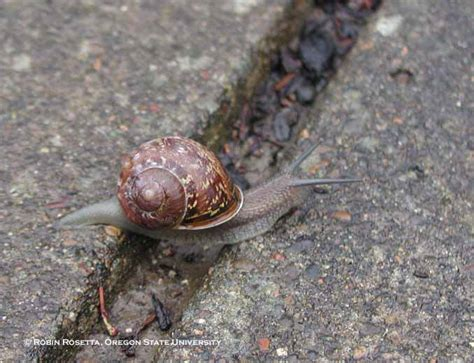 Snails In Garden by Brown Garden Snail