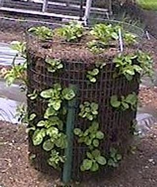 potato tower in hog wire from hill gardens livingecology