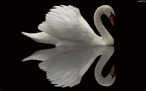 5 Things White And Beautiful by Odbicie Biały łabędź Na Pulpit
