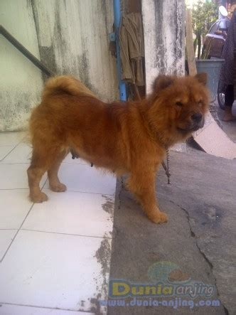 Jual Anakan Chow Chow Best Quality dunia anjing jual anjing chow chow anakan chow quot dan indukan