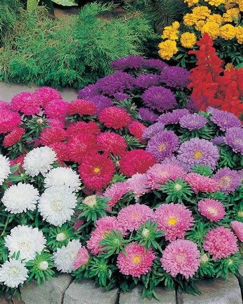 aster color aster colour carpet mixed seeds from mr fothergill s seeds