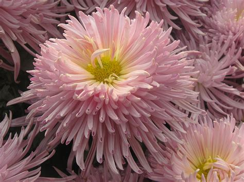 mums flower chrysanthemum flower pictures white red chrysanthemum flowers