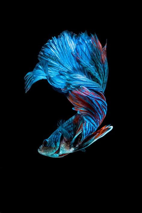 apple wallpaper betta fish betta splendens siamese fighting fight fish