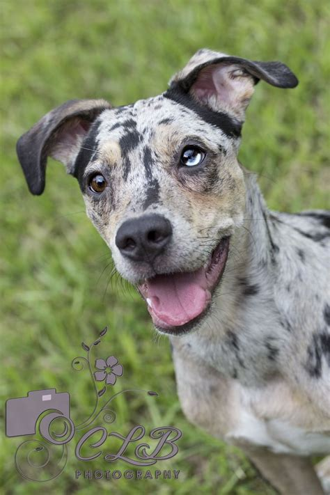 can dogs meg catahoula leopard are called quot cracked