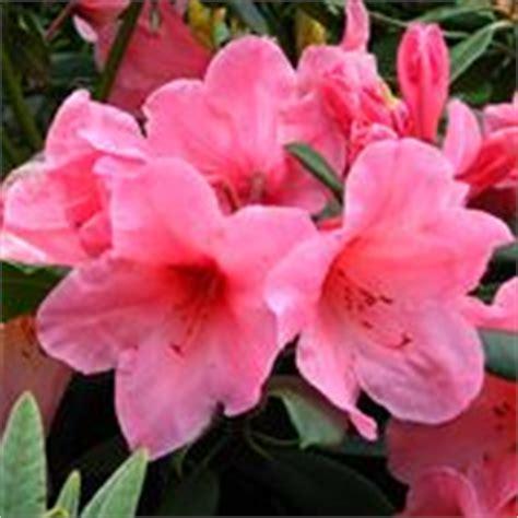 rododendro in vaso rododendro pianta piante da giardino pianta di rododendro