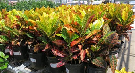 fall plants crotons in the garden with janet carson