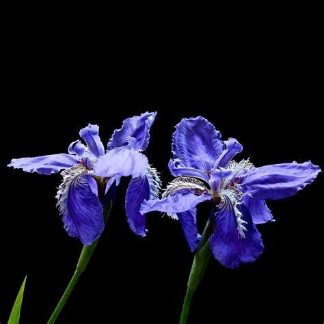 Butterfly Iris Blue T1310 3 egrow 20pcs pupper iris seeds tectorum maxim blue butterfly flower seeds alex nld