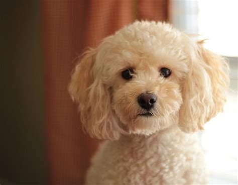 Bichon Poo Haircuts | poodle bichon mix haircut style aww makes me want