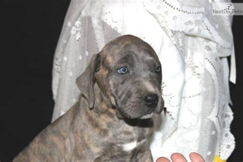 blue presa canario puppies for sale presa canario puppy for sale near lancaster pennsylvania b98f16af 9001