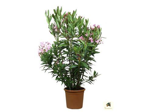 Oleander Im Garten Pflanzen 4461 by Contacts