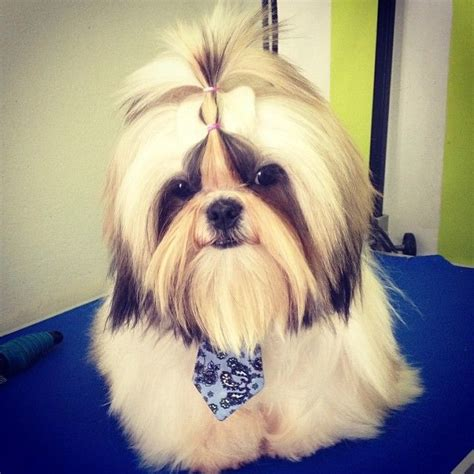 shih tzu hair products 75 best images about shih tzu on big thing hair care products and hair