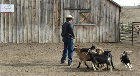 how to a working for cattle the working cattle urricelqui ranch kelpies