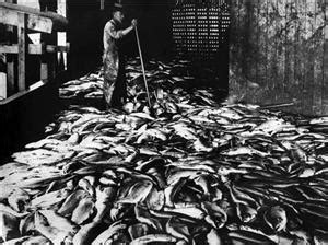 fifty chinese workers bound  salmon