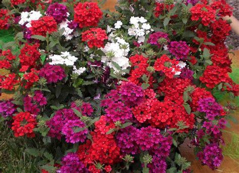 fior di verbena la verbena fiori da giardino pianta verbena