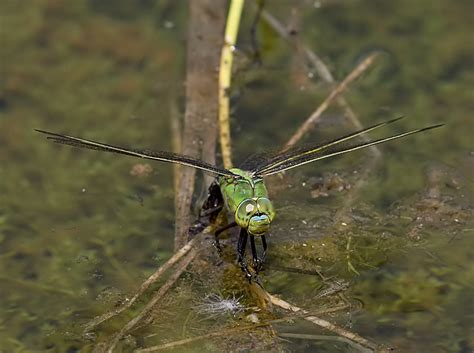 Ls Dragonfly by Kent Dragonflies A Range Of Species On The Wing