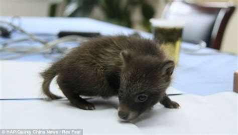are bears related to dogs adorable baby raccoon mistaken for a cub rescued by a officer in china