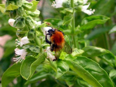 herb garden pests - Herb Garden Pest
