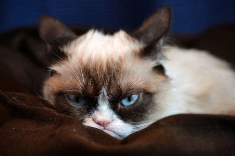 wallpaper angry cat grumpy kitty hd wallpapers