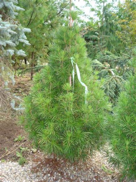 rich s foxwillow pines nursery inc sciadopitys