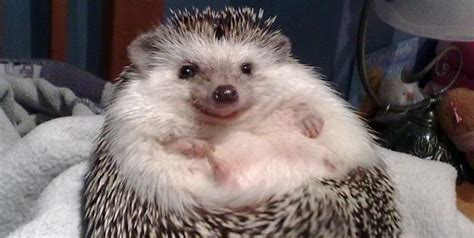 cute baby hedgehog smiling enzyme kinetics biochemistry is a good thing