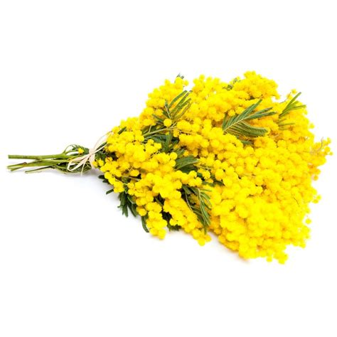 foto mimosa fiore image gallery mimose