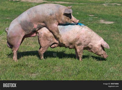 animal big dogs mating pigs mating