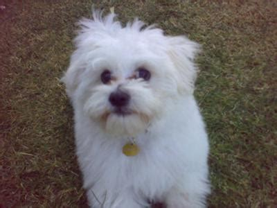 yorkie maltese bichon mix bichon maltese mix puppies breeds picture