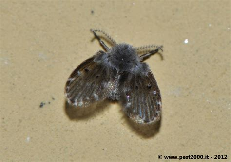 insetti volanti piccoli insetti neri volanti in casa 28 images piccoli