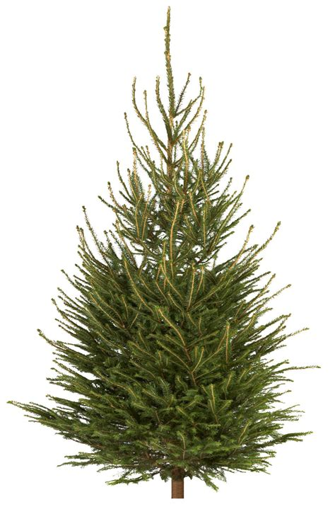 real christmas trees bq medium spruce real tree departments diy at b q