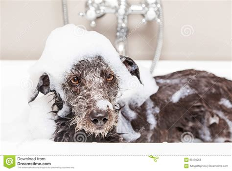 dog in a bathtub video funny unhappy wet terrier dog in bathtub stock photo image of tolerance interior