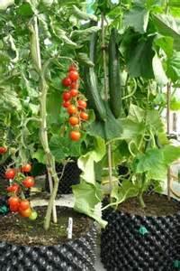 cultiver des poivrons jardin potager jardin