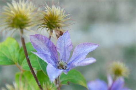 wann clematis zurückschneiden clematis pflanzen pflegen schneiden gartenjournal net