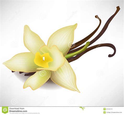 fiore della vaniglia fiore e bastoni della vaniglia immagine stock immagine