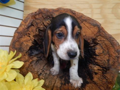 beagle puppies for sale in indiana view ad beagle puppy for sale indiana hammond usa