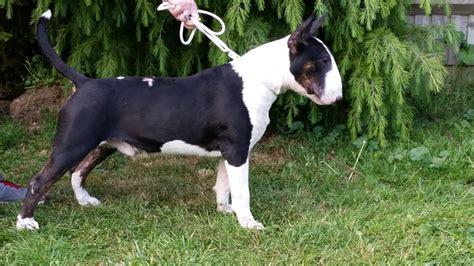 bull terrier puppy for sale bull terrier puppy for sale carshalton surrey pets4homes