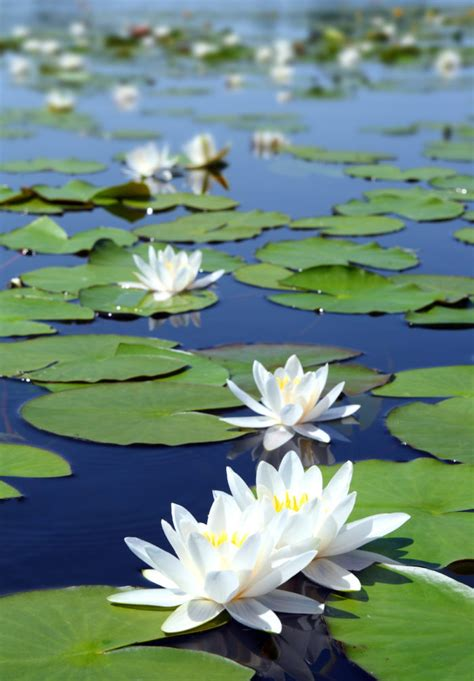 blue lotus lily blue water lily water lilies pinterest