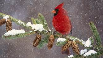 cardinal in the winter pictures photos and images for