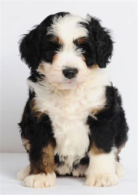 Non Shedding Cross Breed Dogs by Mini Bernedoodles Bernese Mountain Poodle Cross 25 49 Lbs Grown 15 20 Quot