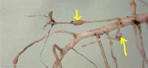 root knot nematode resistant vegetables nematodes vegetable resources