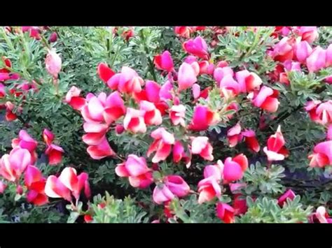 popular flowering shrubs best flowering shrubs cytisus burkwoodii scotch broom