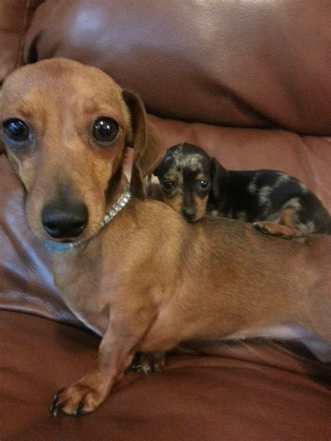 wiener puppies 25 best ideas about wiener dogs on