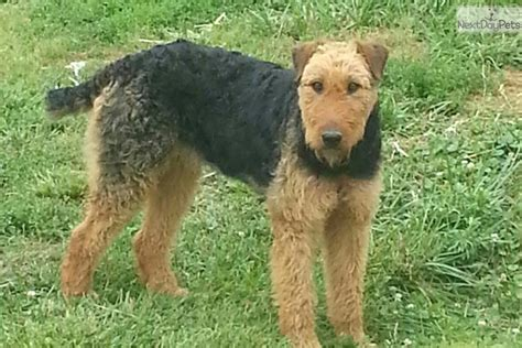 airedale puppies for sale ohio airedale terrier puppy for sale near columbus ohio c2419572 fd31