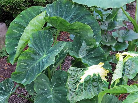 elephant ears colocasia plant care and collection of varieties garden org