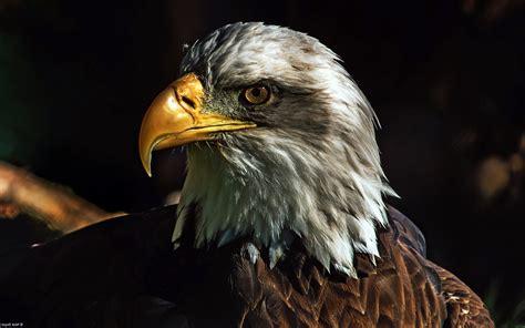 nature animals wildlife birds eagle bald eagle