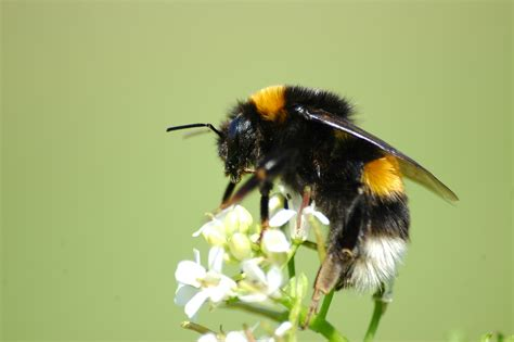 Bumble Bee L by File 2010 04 28 35 Erdhummel Buff Tailed Bumblebee